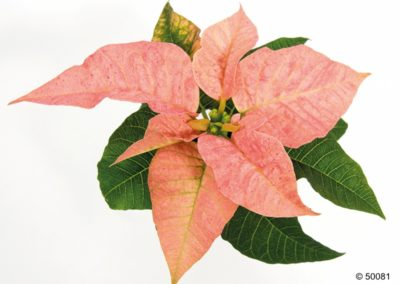 CHRISTMAS BEAUTY CINNAMON
