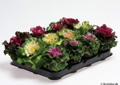 Brassica · 6 cm
