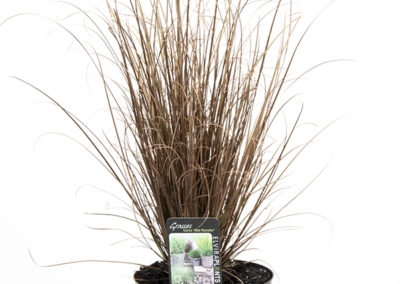 CAREX RED ROOSTER