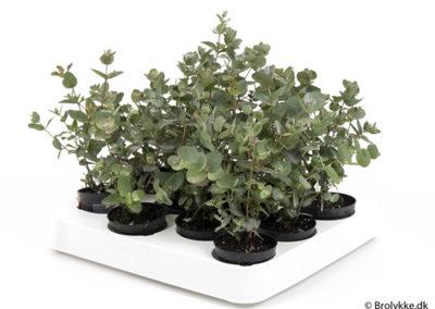 Eucalyptus · 6 cm