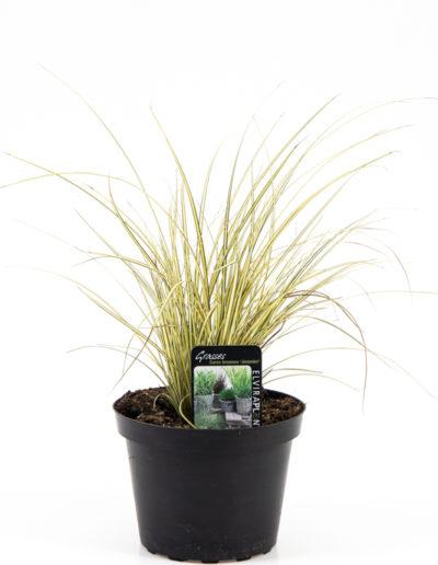 Carex brunea Jenneke
