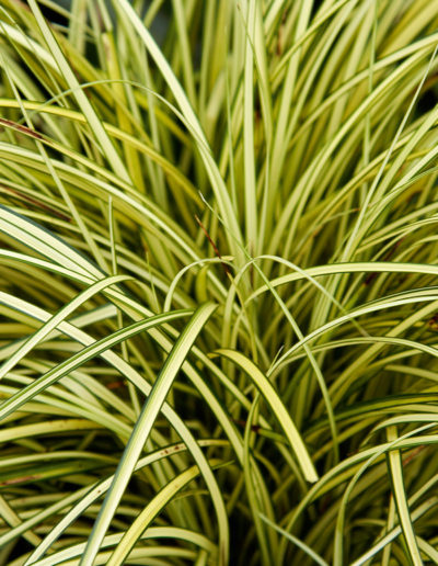 Carex Brunnea Jenneke